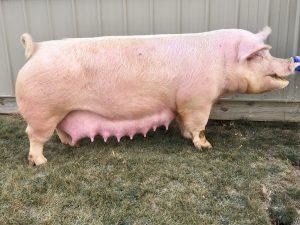PigsVanilla IceCream