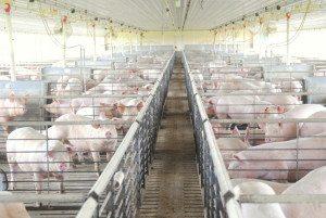 Modern Pig Barn