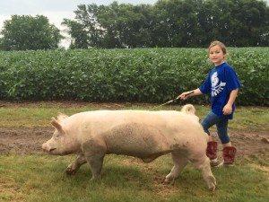 Walking Wilbur The Pig